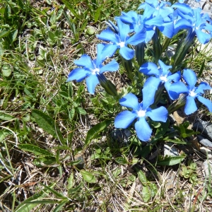Photographie n°22386 du taxon Gentiana verna L.