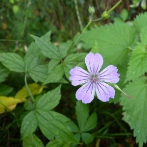 Photographie n°22426 du taxon Geranium nodosum L.