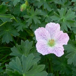 Photographie n°22428 du taxon Geranium cinereum Cav.