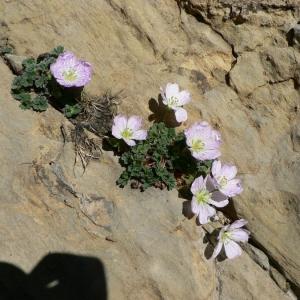 Photographie n°22433 du taxon Geranium cinereum Cav.