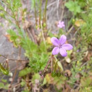 Erodium chium (L.) Willd. (Bec-de-grue de Chios)
