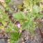 Mathieu MENAND - Erodium chium (L.) Willd. [1794]