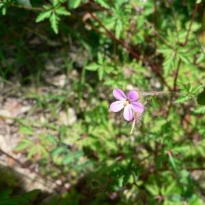 Photographie n°22453 du taxon Geranium robertianum subsp. purpureum (Vill.) Nyman [1878]