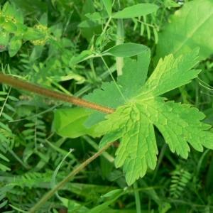 Photographie n°22458 du taxon Geranium phaeum L. [1753]