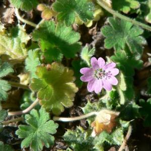 Photographie n°22461 du taxon Geranium molle L.