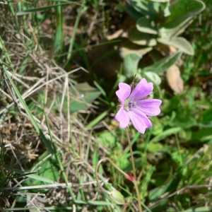 Photographie n°22465 du taxon Geranium columbinum L.