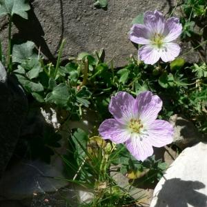 Photographie n°22467 du taxon Geranium cinereum Cav.