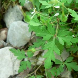 Photographie n°22476 du taxon Geranium robertianum subsp. purpureum (Vill.) Nyman [1878]
