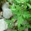 Mathieu MENAND - Geranium robertianum subsp. purpureum (Vill.) Nyman [1878]