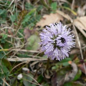 Globularia nudicaulis L. (Globulaire à tige nue)