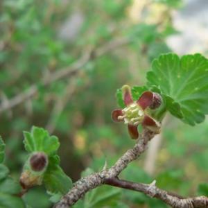 Photographie n°22503 du taxon Ribes uva-crispa L. [1753]