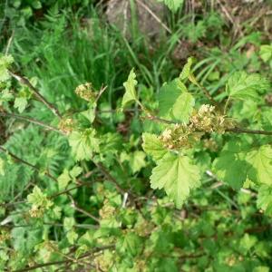 Photographie n°22512 du taxon Ribes alpinum L.