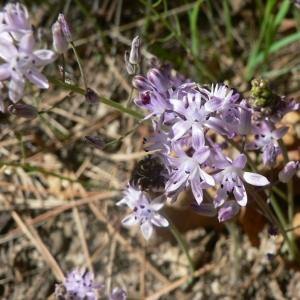 Photographie n°22550 du taxon Scilla autumnalis L.