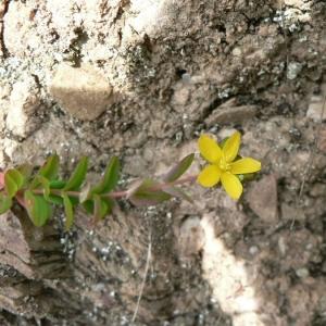 Photographie n°22575 du taxon Hypericum humifusum L. [1753]