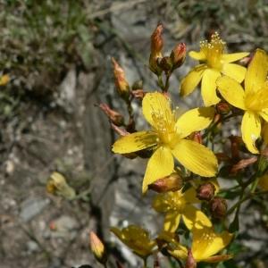Hypericum linariifolium Vahl (Millepertuis à feuilles de linaire)