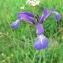 Mathieu MENAND - Iris spuria subsp. maritima (Lam.) P.Fourn. [1935]
