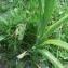 Mathieu MENAND - Iris latifolia (Mill.) Voss