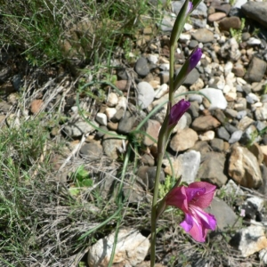 Photographie n°22609 du taxon Gladiolus dubius Guss. [1832]