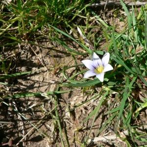 Photographie n°22613 du taxon Romulea columnae Sebast. & Mauri