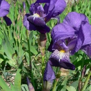 Photographie n°22631 du taxon Iris germanica L. [1753]