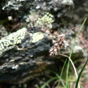 Luzula spicata (L.) DC. [1805, in Lam. & DC. ; Fl. Franç., éd. 3, 3 : 161] (image CeL)