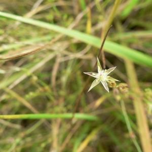 Juncus bufonius L. (Jonc des crapauds)
