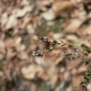 Photographie n°22685 du taxon Luzula sylvatica (Huds.) Gaudin
