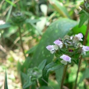 Photographie n°22715 du taxon Prunella vulgaris L.