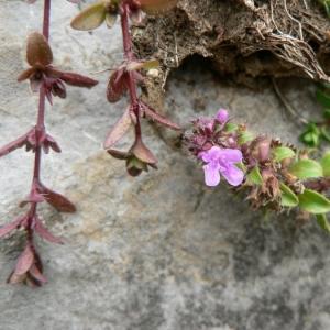 Photographie n°22721 du taxon Thymus polytrichus subsp. britannicus (Ronniger) Kerguélen [1987]