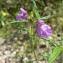Mathieu MENAND - Galeopsis angustifolia Ehrh. ex Hoffm. [1804]