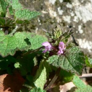 Photographie n°22758 du taxon Lamium purpureum L. [1753]