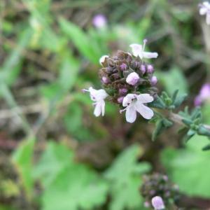 Photographie n°22764 du taxon Thymus vulgaris L.