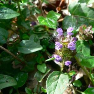Photographie n°22765 du taxon Prunella vulgaris L.