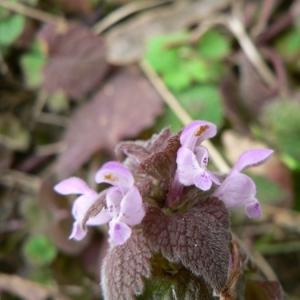 Photographie n°22797 du taxon Lamium purpureum L. [1753]