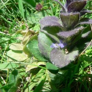 Photographie n°22817 du taxon Ajuga pyramidalis var. pyramidalis