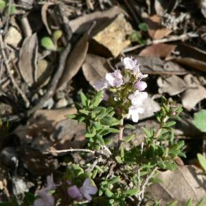 Photographie n°22832 du taxon Thymus vulgaris L. [1753]