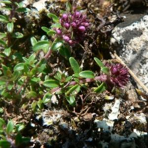 Photographie n°22846 du taxon Thymus serpyllum L. [1753]