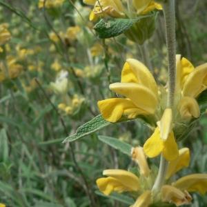 Photographie n°22848 du taxon Phlomis lychnitis L.