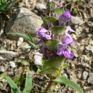 Photographie n°22851 du taxon Prunella hyssopifolia L. [1753]
