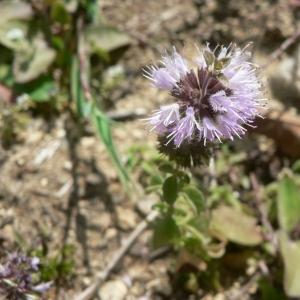 Photographie n°22866 du taxon Mentha pulegium L.