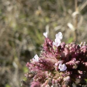 Photographie n°22870 du taxon Origanum vulgare L. [1753]
