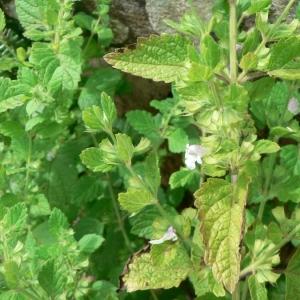 Photographie n°22904 du taxon Melissa officinalis L.