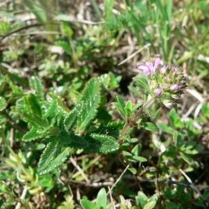 - Thymus polytrichus subsp. britannicus (Ronniger) Kerguélen [1987]