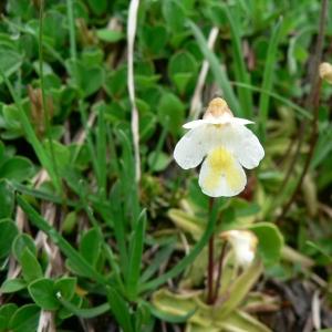 Photographie n°22929 du taxon Pinguicula alpina L.