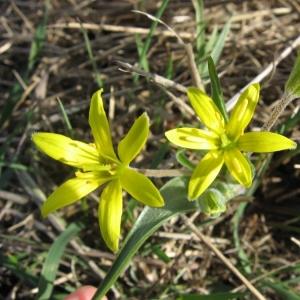Photographie n°22953 du taxon Gagea villosa (M.Bieb.) Sweet