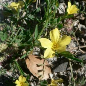 Linum nodiflorum L. (Lin à fleurs nodales)