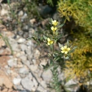 Photographie n°22993 du taxon Linum strictum L.