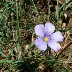Linum laeve [subsp.] anglicum sensu P.Fourn. (Lin de Léo)