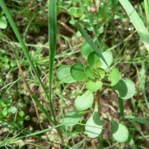 Photographie n°23035 du taxon Lythrum portula (L.) D.A.Webb
