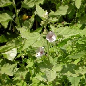 Photographie n°23071 du taxon Althaea officinalis L.